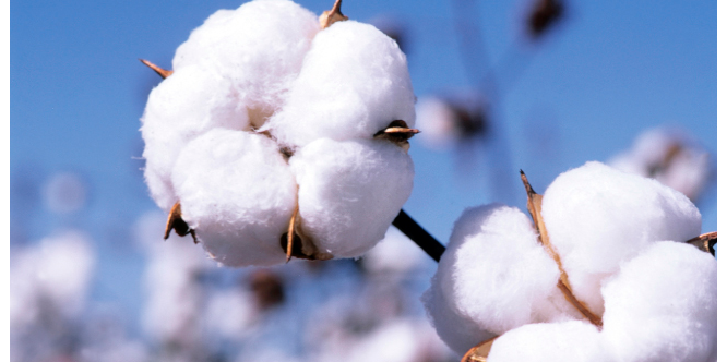 ABP: Association begins N4bn loan recovery from cotton farmers