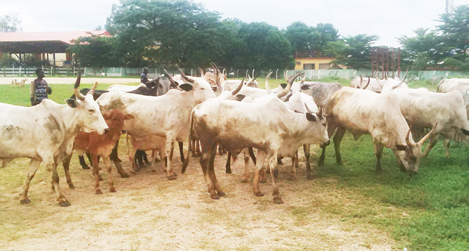 Herdsman in Court for allegedly stealing 15 cows