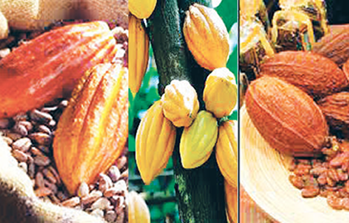 Repositioning cocoa for national rebirth