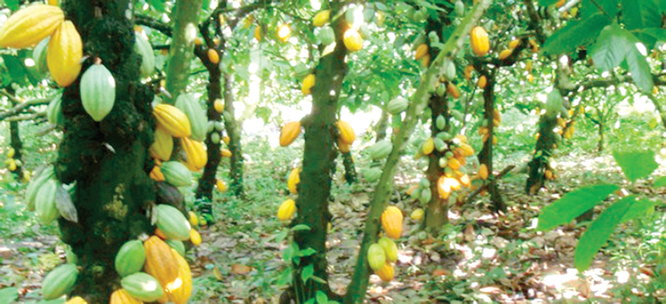 Pesticides control as catalyst for Nigeria's cocoa boost