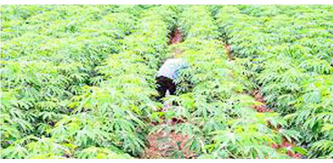 Cassava farmer seeks more support for agro investors