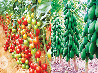 Tackling Nigeria's huge seeds gap