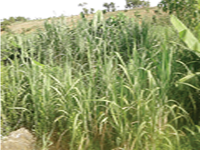 Sugarcane: Economic prosperity in a stick