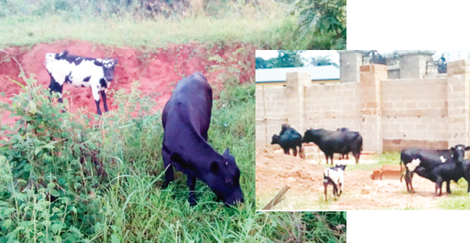 Inside Anambra cattle farms