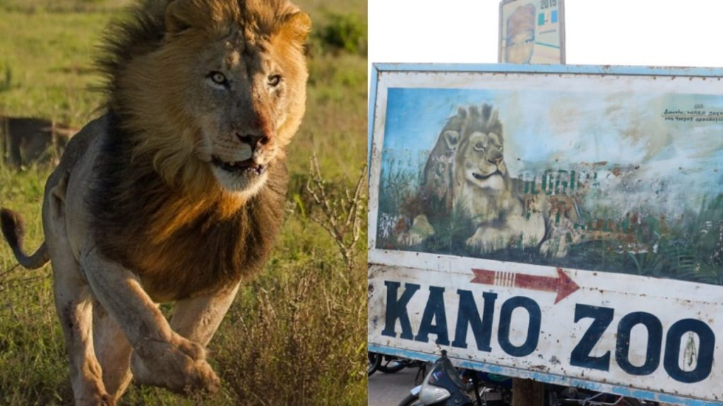 Escaped Kano zoo lion finally captured