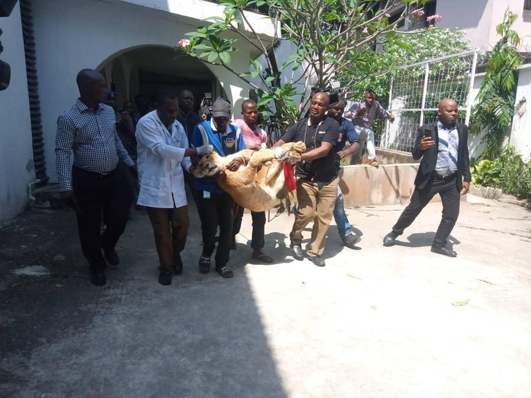 Officials drug, evacuate Lagos lion
